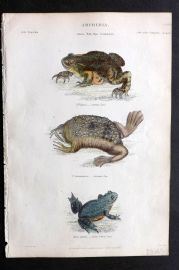 Richardson 1862 Hand Col Print. Toad, Surinam Pipa, Yellow Bellied Toad